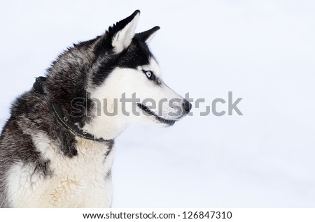 The dog Siberian husky in the winter - stock photo
