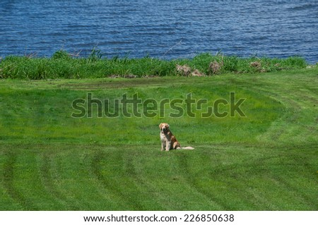 The dog sits patiently on the lawn waiting for someone to come and play with him - stock photo
