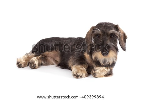 The dog with long rigid brown wool and short pads of breed a dachshund sits on a white background looks forward.