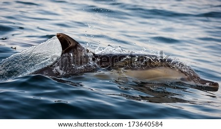 The dolphin comes up from water. The Long-beaked common dolphin (scientific name: Delphinus capensis) swim in atlantic ocean. - stock photo