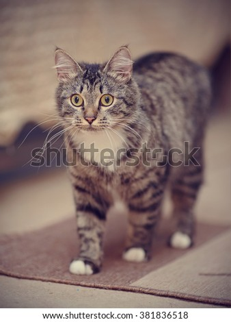 The domestic striped cat with yellow eyes costs.