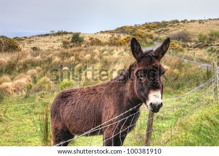 The donkey in the meadow in Ireland. - stock photo