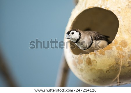 The double-barred finch  is an estrildid finch found in dry savannah, tropical grassland and shrubland habitats in northern and eastern Australia. They are sometimes called owl finch. - stock photo