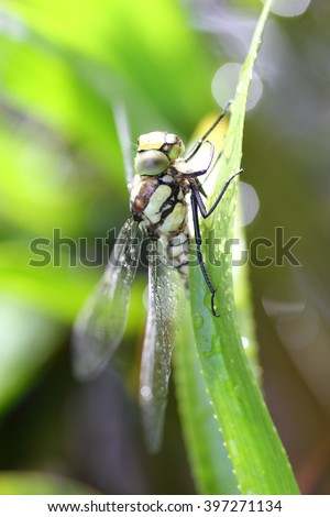 The dragonflies (Odonata) make an order within the class of insects (Insecta)