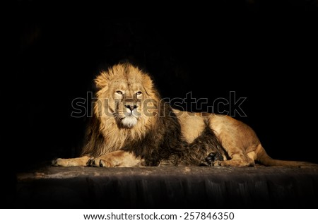 The dreamy look of a lying Asian lion, isolated on black background.  - stock photo