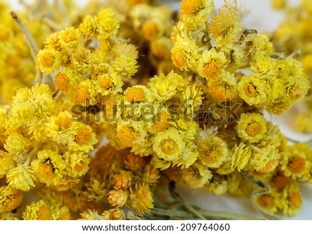 The dried flowers of helichrysum arenarium closeup.  An infusion of the bright yellow flowers is used in the treatment of gall bladder disorders - stock photo
