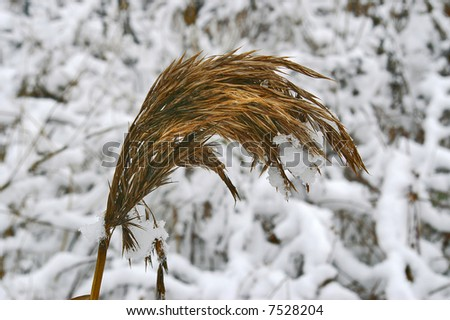 The dried up stalk of flower under snow