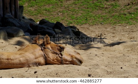 The dromedary, also known as the Arabian camel, sleeping on the sand.