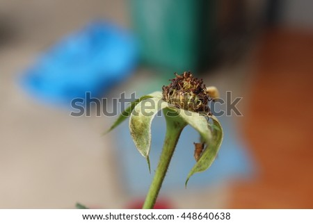 the dry rose and blur view. Back roses wilted natural laws of life. - stock photo