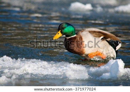 The duck is jumping out of the frozen water - stock photo