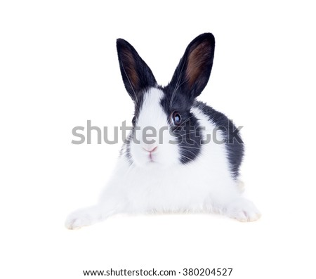 The Dutch rabbit, also known as Hollander or Brabander. Isolated on white background