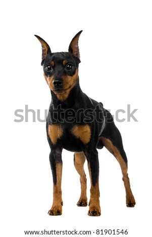 The dwarfish pinscher costs. Isolation on the white - stock photo