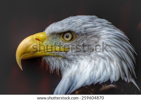 The Eagle's Stare - stock photo