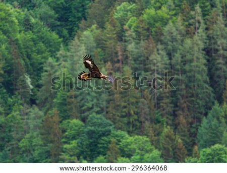 The eagle soars in the air - stock photo