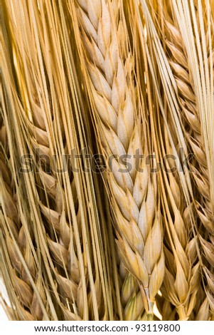 The ears of wheat combined together. Darkened in due course. Small depth of sharpness - stock photo