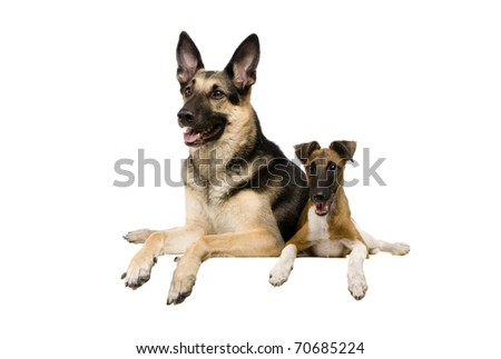 The East European sheep-dog on with White sleek-haired fox-terrier the white background - stock photo