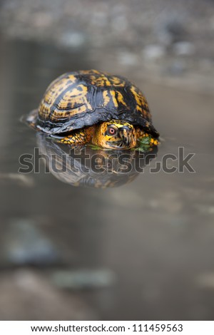 The eastern box turtle (Terrapene carolina),  is a genus of turtle native to the eastern united states.