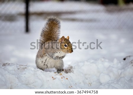 The eastern gray squirrel has predominantly gray fur, but it can have a brownish color. It has a usual white underside as compared to the typical brownish-orange underside of the fox squirrel.