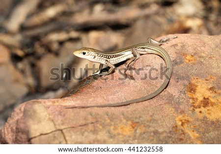 The Eastern striped skink (Ctenotus robustus) is a species of skink found in a wide variety of habitats in Australia. A robust lizard with complex markings and patterns. - stock photo