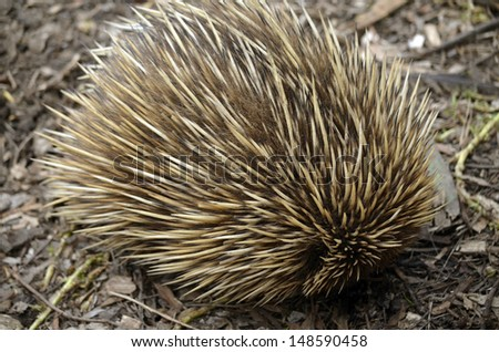 the echidna has rolled itself up for protection - stock photo