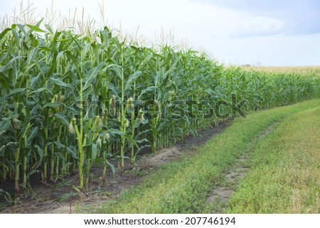 The edge of a midwestern USA cornfield with young ears of corn - stock photo