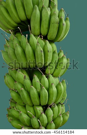 The edible  seedless banana which is the important fruit  in tropical region.