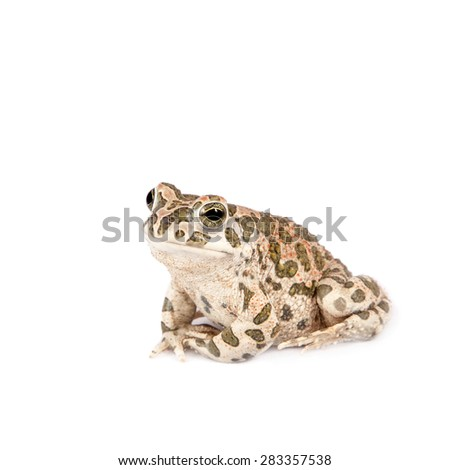 The Egyptian green toad on white - stock photo