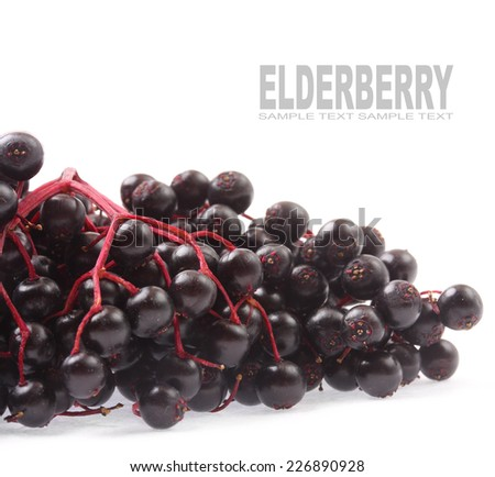 The Elderberry Sambuscus Nigra. The flowers and berries are used most often medicinally against flu and fever, angina, etc.  - stock photo