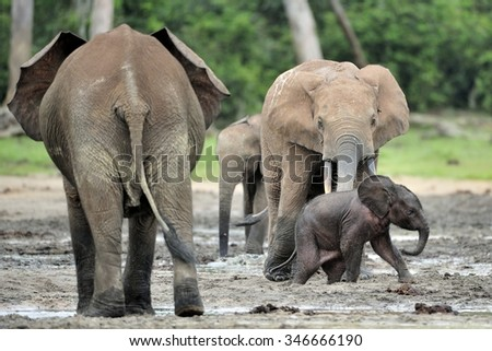 The elephant calf  and elephant cow The African Forest Elephant, Loxodonta africana cyclotis. At the Dzanga saline (a forest clearing) Central African Republic, Dzanga Sangha   - stock photo