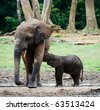 The elephant calf drinks milk at mum.The African Forest Elephant (Loxodonta cyclotis) is a forest dwelling elephant of the Congo Basin. - stock photo