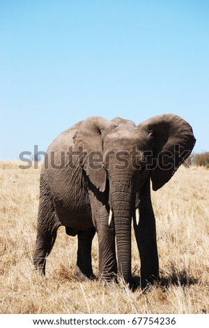 The Elephant in Kenya Africa - stock photo