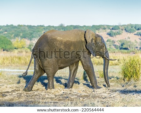 The elephant in national park Chobe, Botswana, South-Western Africa - stock photo