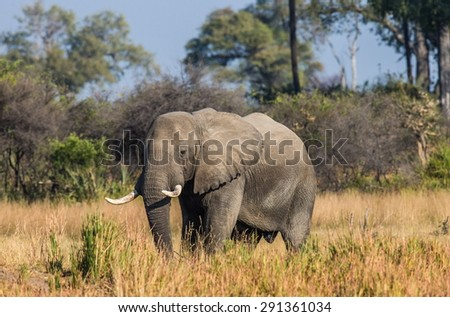 The elephant in the savannah. Botswana. Okavango Delta. An excellent illustration.