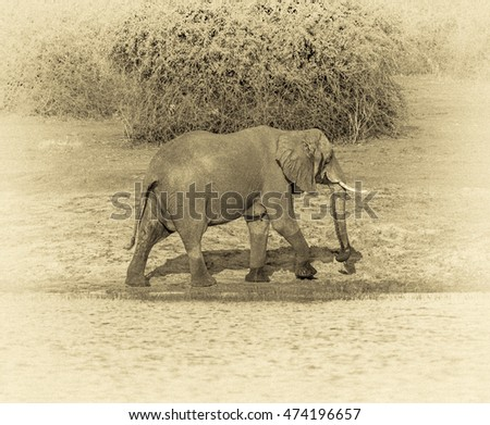 The elephant is on the banks of the Chobe river in national park Chobe, Botswana, South-Western Africa (stylized retro)