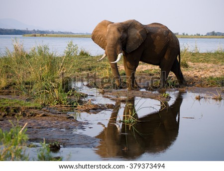 The elephant stands next to the Zambezi river with reflection in water. Zambia. Lower Zambezi National Park. Zambezi River. An excellent illustration. - stock photo