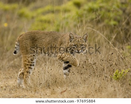 the elusive bobcat - stock photo