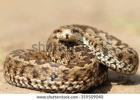 the elusive hungarian  meadow viper ( Vipera ursinii rakosiensis ) - stock photo