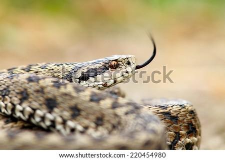 the elusive hungarian meadow viper ( Vipera ursinii rakosiensis ) portrait - stock photo