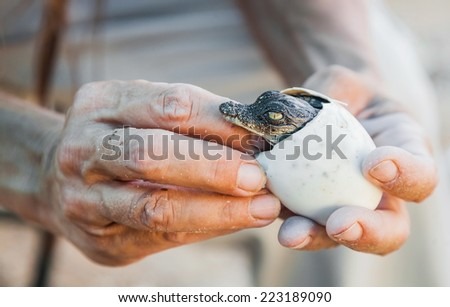 the emergence of the crocodile cub out of the egg - stock photo
