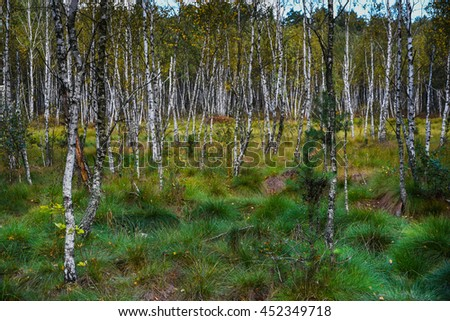 The emergence of the young birch forest on peat bog