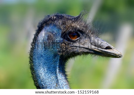 The emu is the largest bird native to Australia and the only extant member of the genus Dromaius. It is the second-largest extant bird in the world by height, after its ratite relative, the ostrich - stock photo