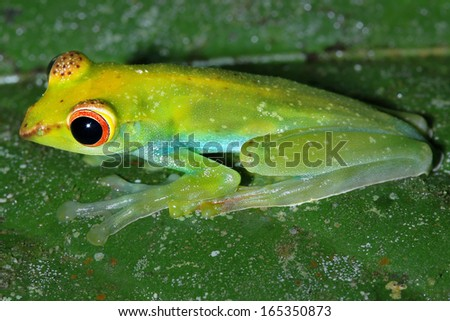 The Endangered and beautiful rare Jade Tree Frog (Rhacophorus dulitensis) perches and watches in the rain forests of Malaysian Borneo. Habitat loss is the primary reason for its rarity.