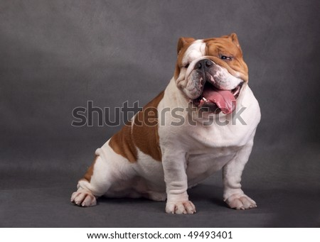 The English bulldog on a color background - stock photo