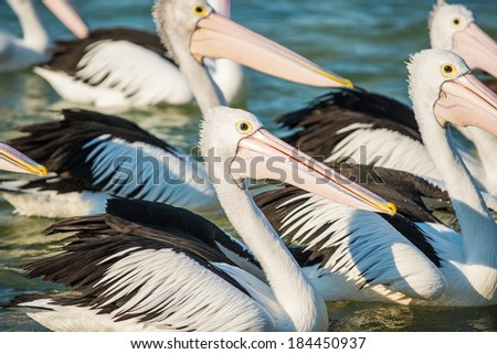 The Entrance central coast NSW the daily pelican feeding