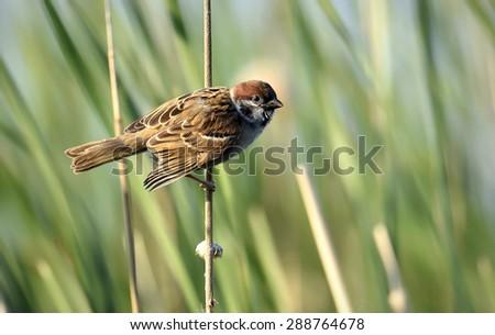 The Eurasian tree sparrow (Passer montanus).    - stock photo