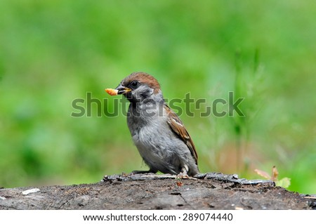 The Eurasian tree sparrow (Passer montanus) is a passerine bird in the sparrow family with a rich chestnut crown and nape, and a black patch on each pure white cheek. Young bird, chick.