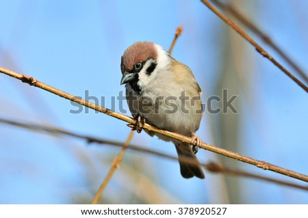 The Eurasian tree sparrow (Passer montanus) is a passerine bird in the sparrow family with a rich chestnut crown and nape, and a black patch on each pure white cheek.