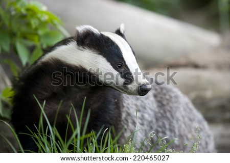 the european badger also called eurasian badger and is or was part of a