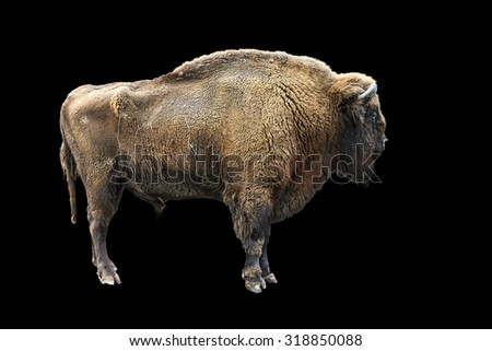 The European bison (Bison bonasus), also known as wisent, isolated on black - stock photo
