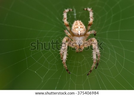 The european garden spider (Araneus diadematus) sitting in the spider net with green background. Big brown, light spider with the cross on the orb web close up. - stock photo
